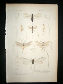 Cuvier C1840 Antique Hand Col Print. Insects 106